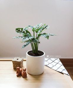 cay-trau-ba-lo-philodendron-monstera-oblique-2