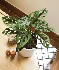 cay-trau-ba-lo-philodendron-monstera-oblique-1